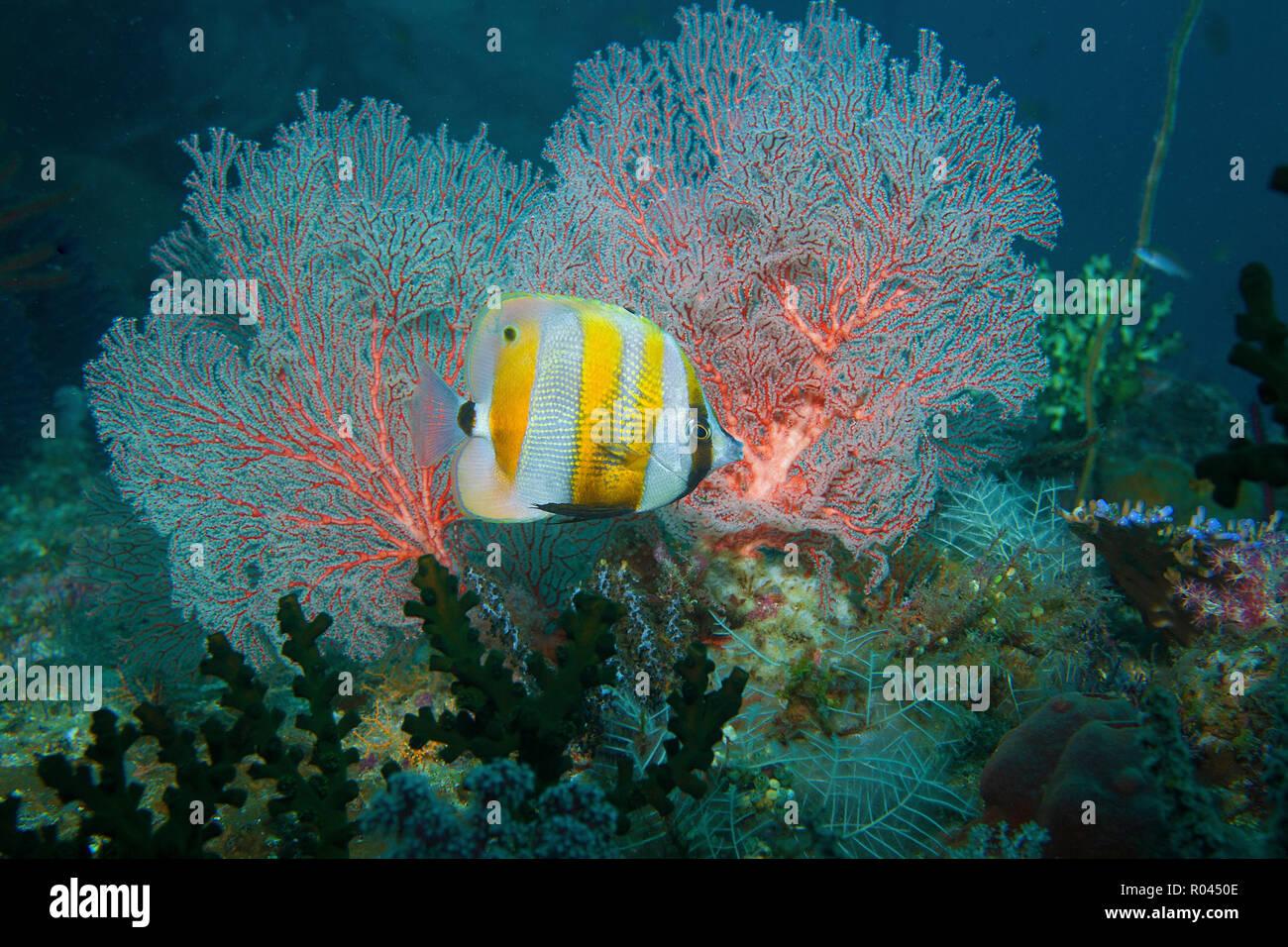 Orange-banded coralfish (Coradion chrysozonus) at a seafan, Raja Ampat, Irian Jaya, Indonesia - Stock Image