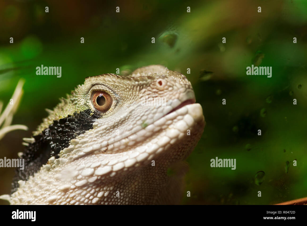 Lateral head portrait of an Australian Water Dragon (lat: Intellagama lesueurii) behind a terrarium glass pane with drops of water. The focus on eye. - Stock Image