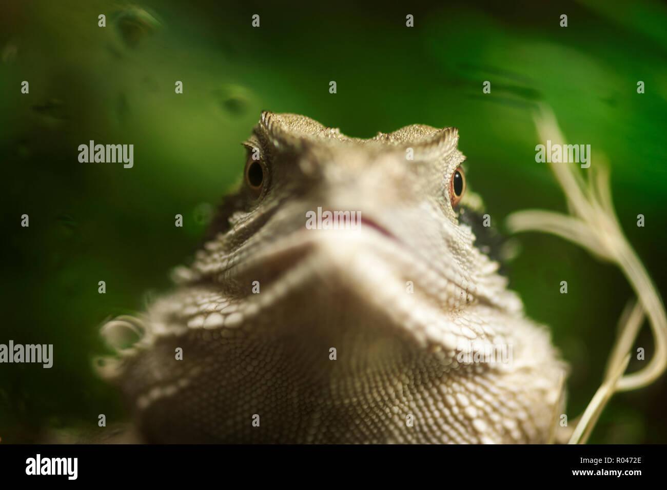 Frontal Head Portrait Of An Australian Water Dragon Lat