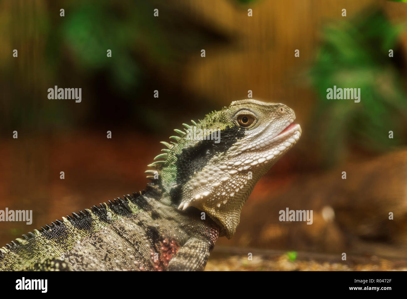 Lateral view of a terrarium agame in front of blurred background. - Stock Image