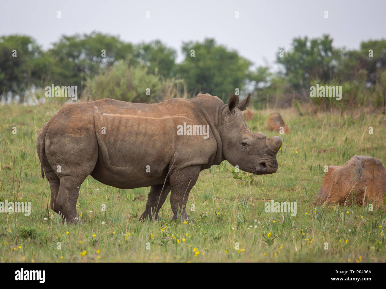 African Rhino wild in nature, on the brink of extinction due to poaching for their horns - Stock Image