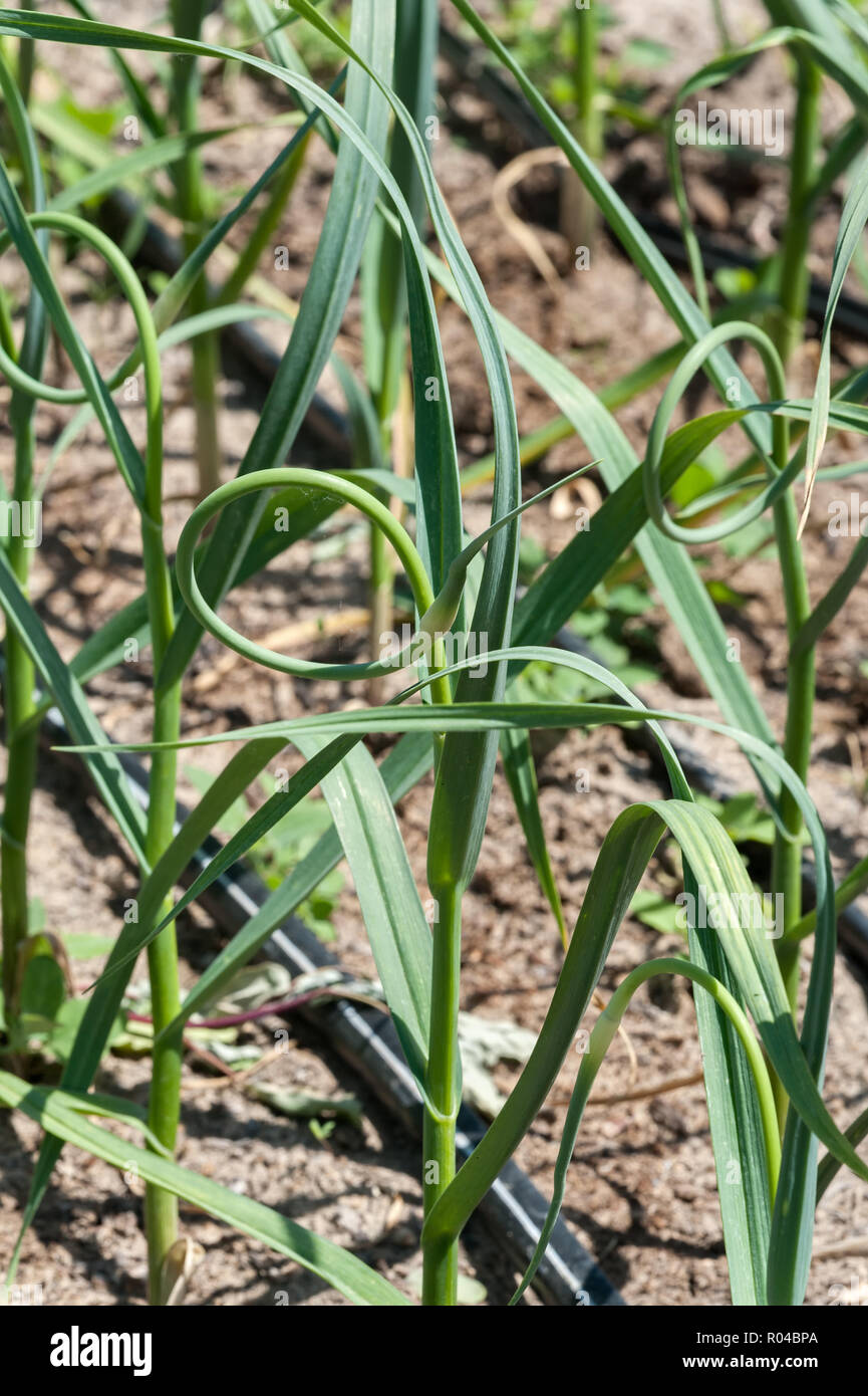 Garlic scapes, the flower bud of a garlic plant, look like nature's origami. - Stock Image