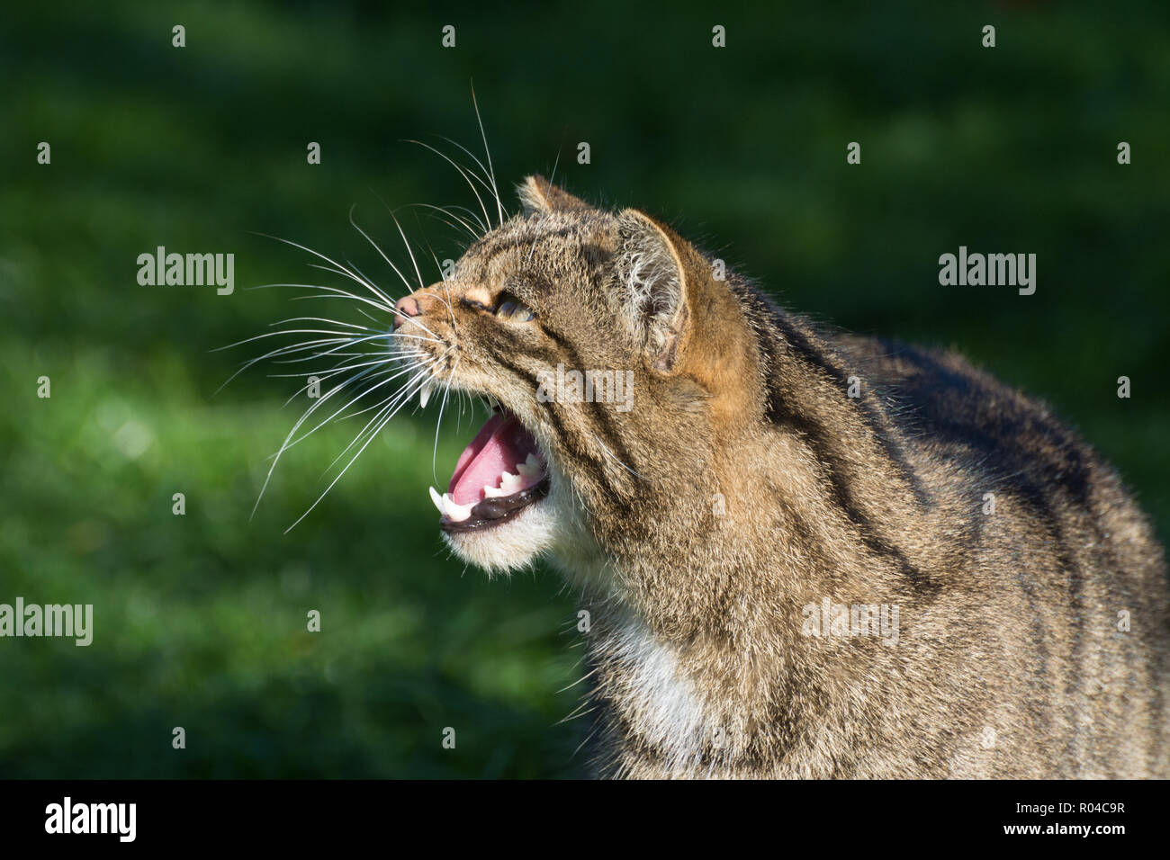 Close-up of Scottish wildcat (Felis silvestris grampia) captive with teeth bared snarling - Stock Image