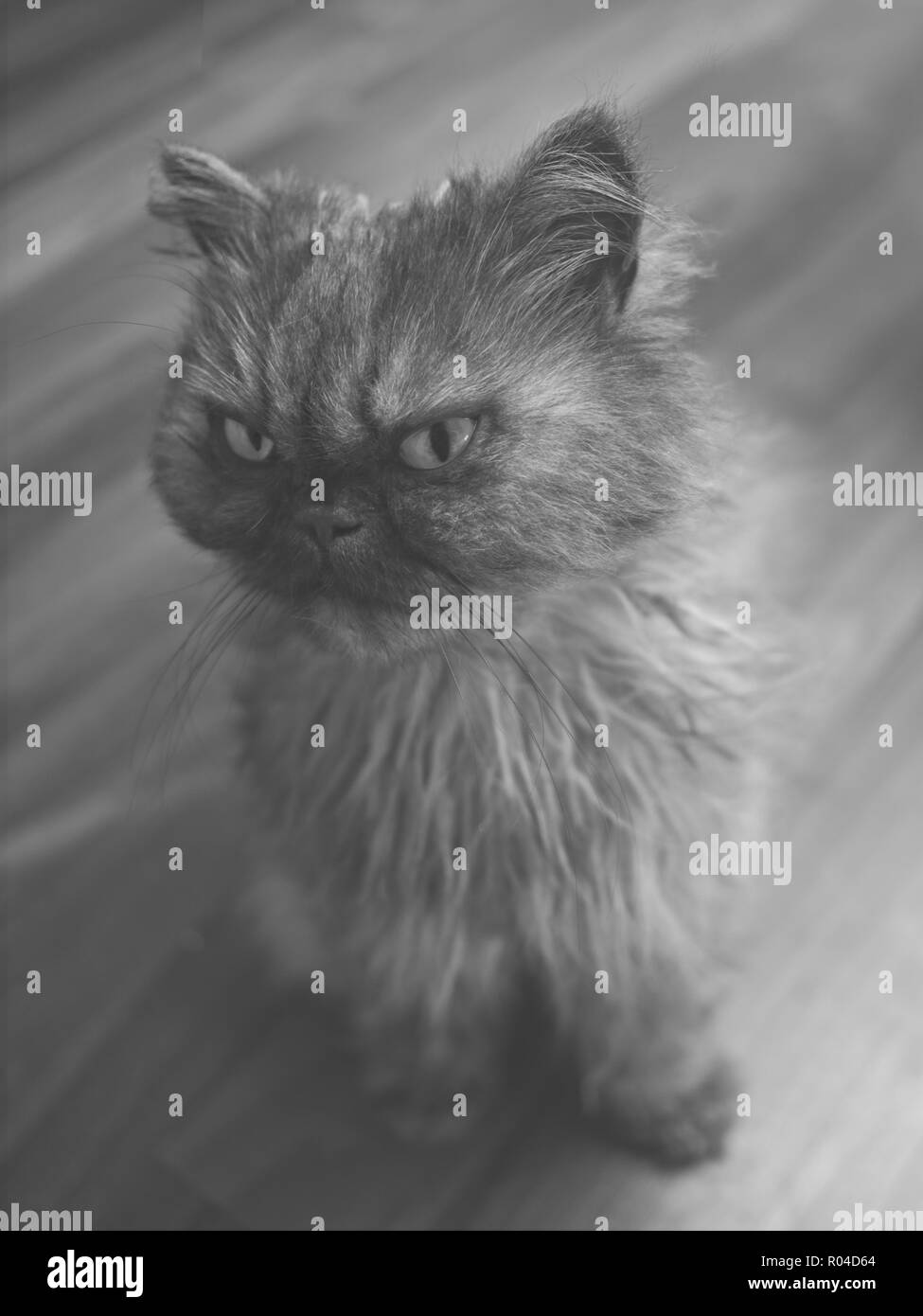 Young persian cat looking away - Black and white portrait. - Stock Image