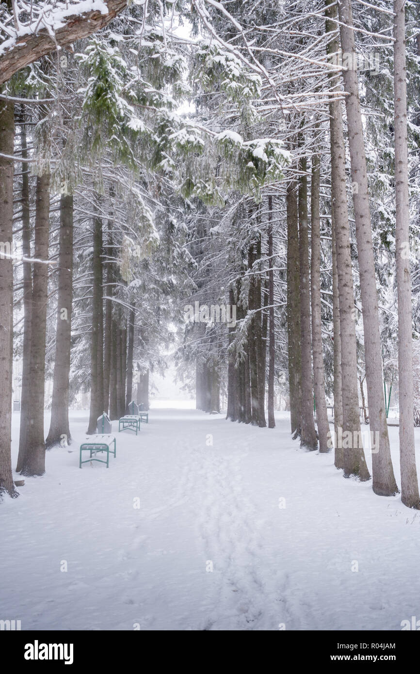 Alley of high spruces in urban winter park.  - Stock Image