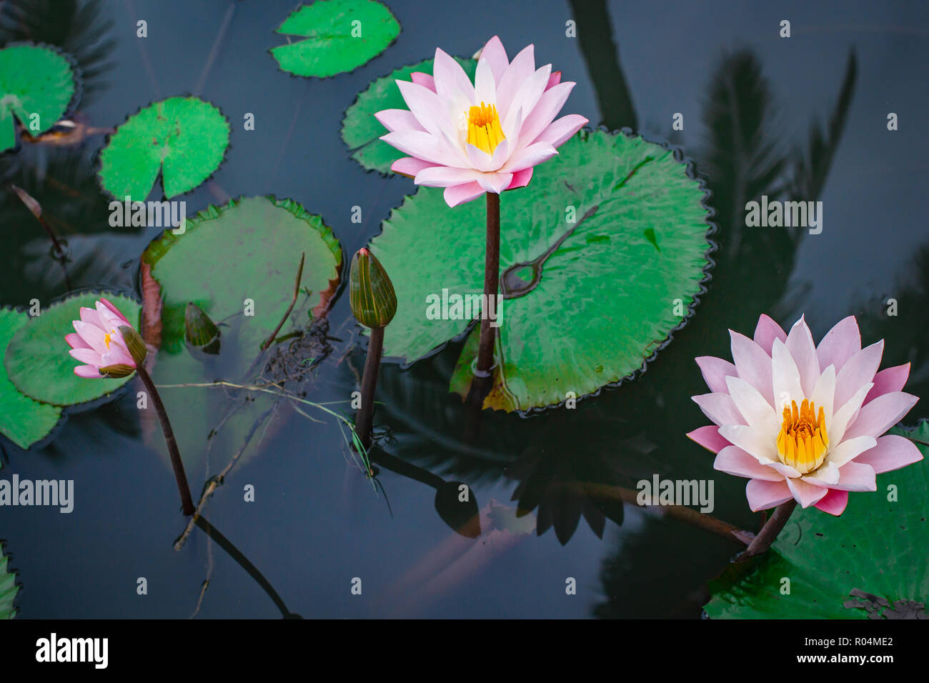 Beautiful Pink Lotus Flower With Green Leaf In Thailand Stock Photo
