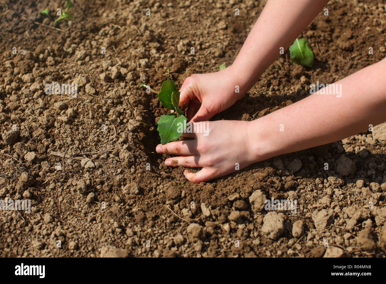 Woman hands planting young seedling plant into wet garden soil, sun shining on green nurseling. - Stock Image