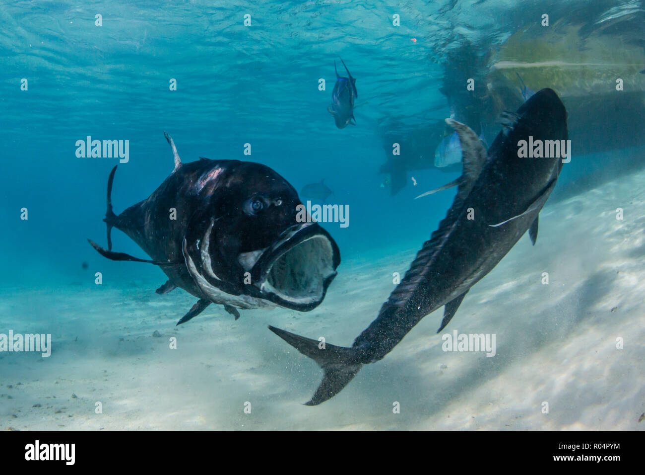 Giant trevally (Caranx ignobilis), at One Foot Island, Aitutaki, Cook Islands, South Pacific Islands, Pacific - Stock Image