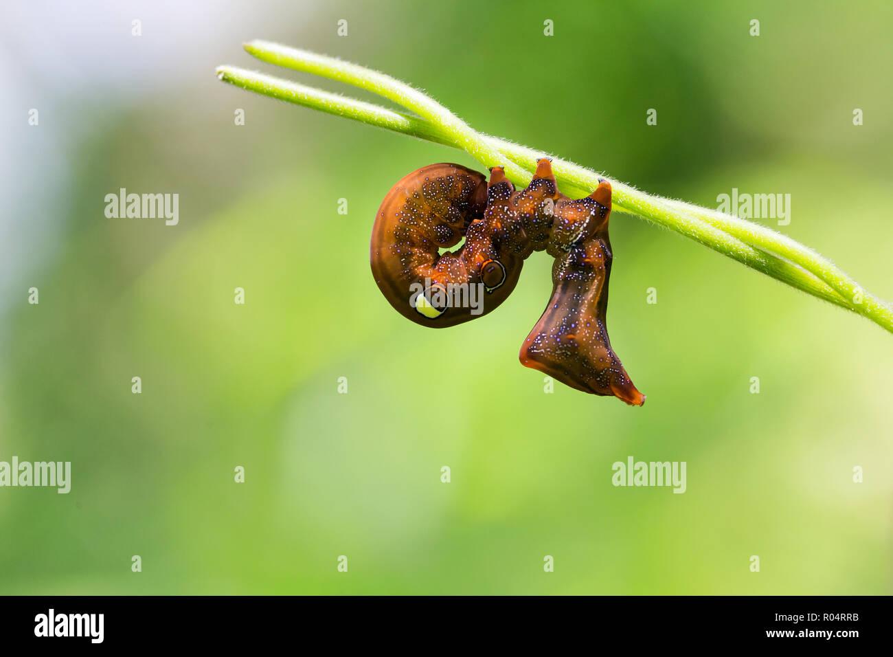 The strange cartepillar of Eudocima Salamina standing on vines - Stock Image