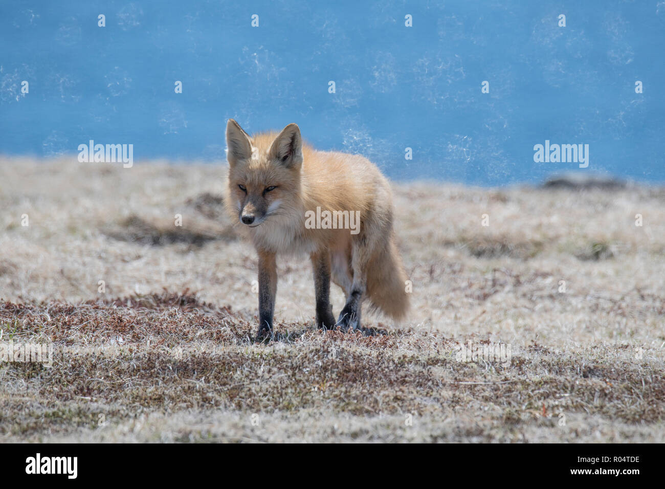Red fox adult female heading back to her den Cape St. Mary's, Newfoundland - Stock Image