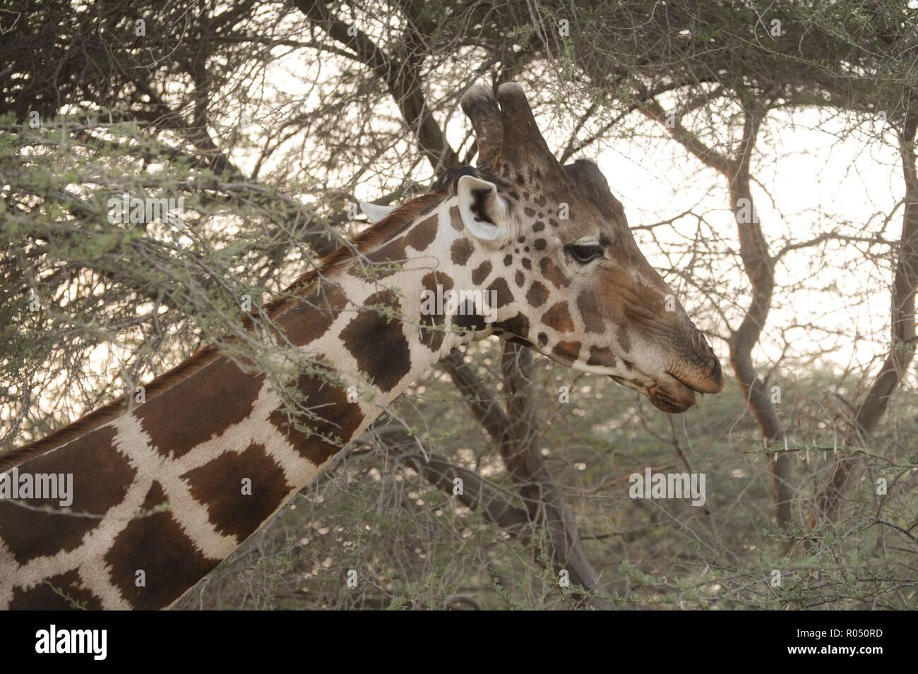 17 October 2018, United Arab Emirates, Sir Bani Yas: A net giraffe on the island of Sir Bani Yas. A reticulated giraffe on the island of Sir Bani Yas. Photo: Sebastian Kahnert/dpa-Zentralbild/ZB - Stock Image