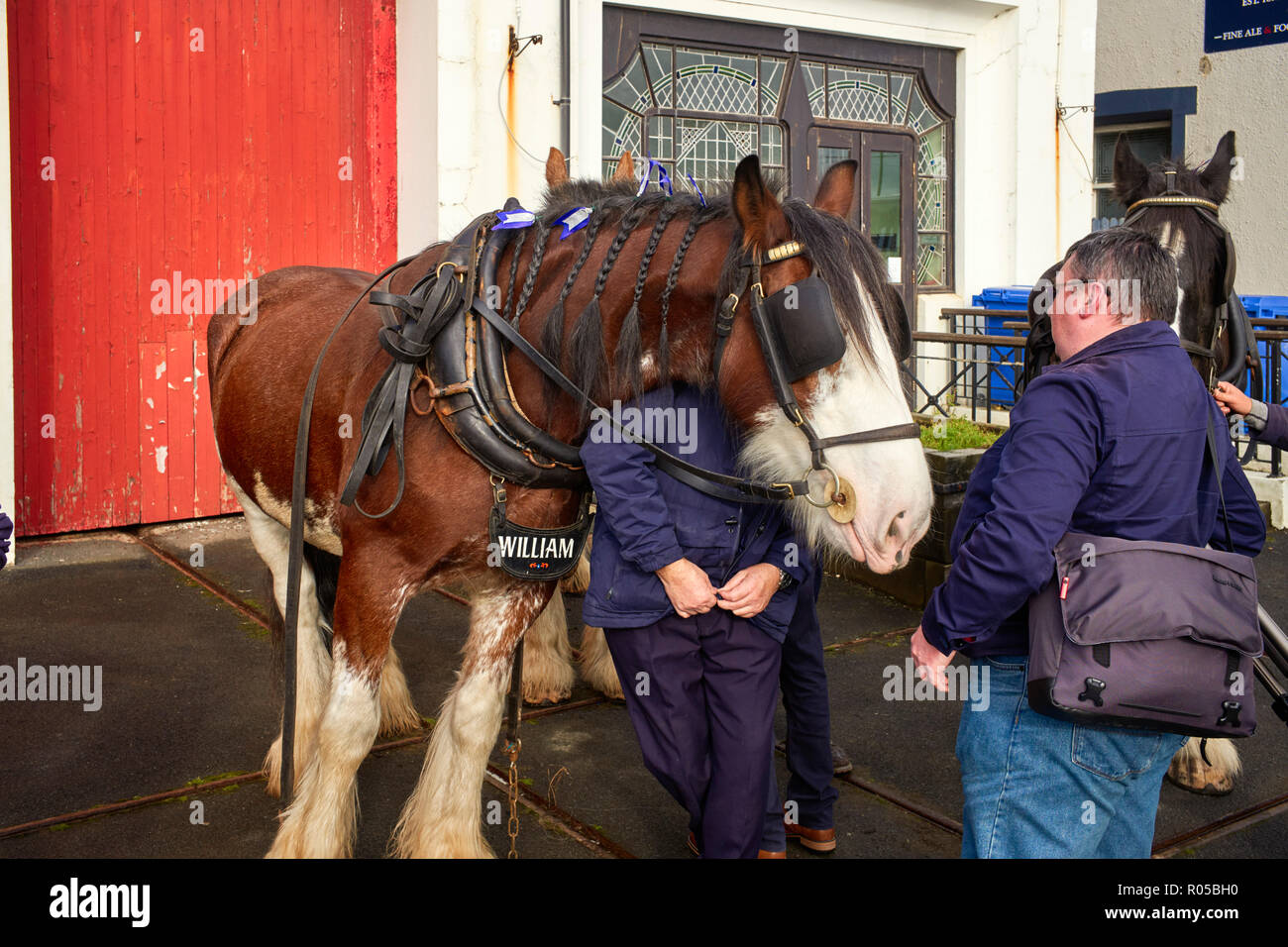 Tram horse William wearing full harness and blinkers leans over his handler in Douglas, Isle of Man - Stock Image
