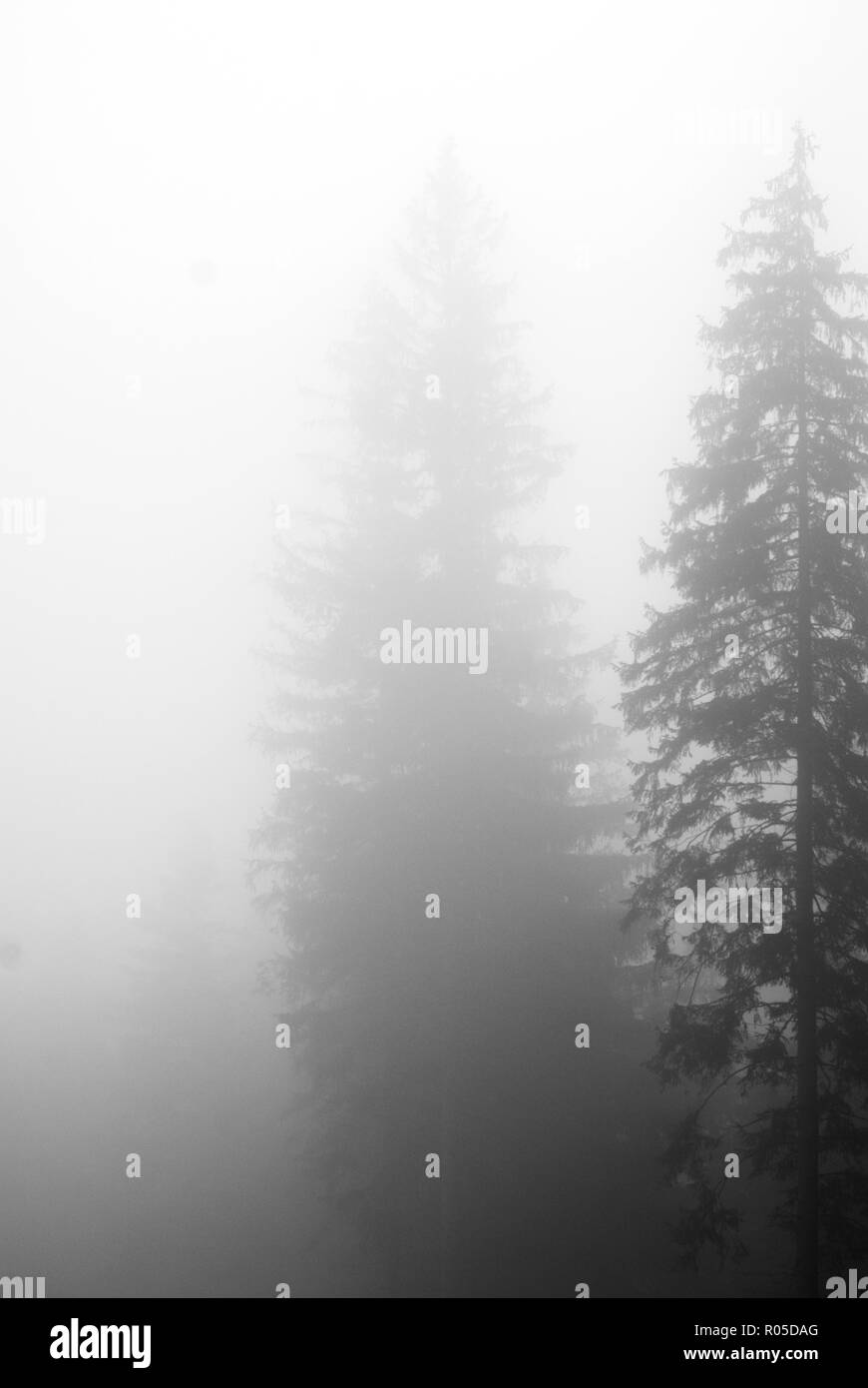 Vague silhouettes of two Norway spruces, Picea abies, vanishing in the mist - Stock Image