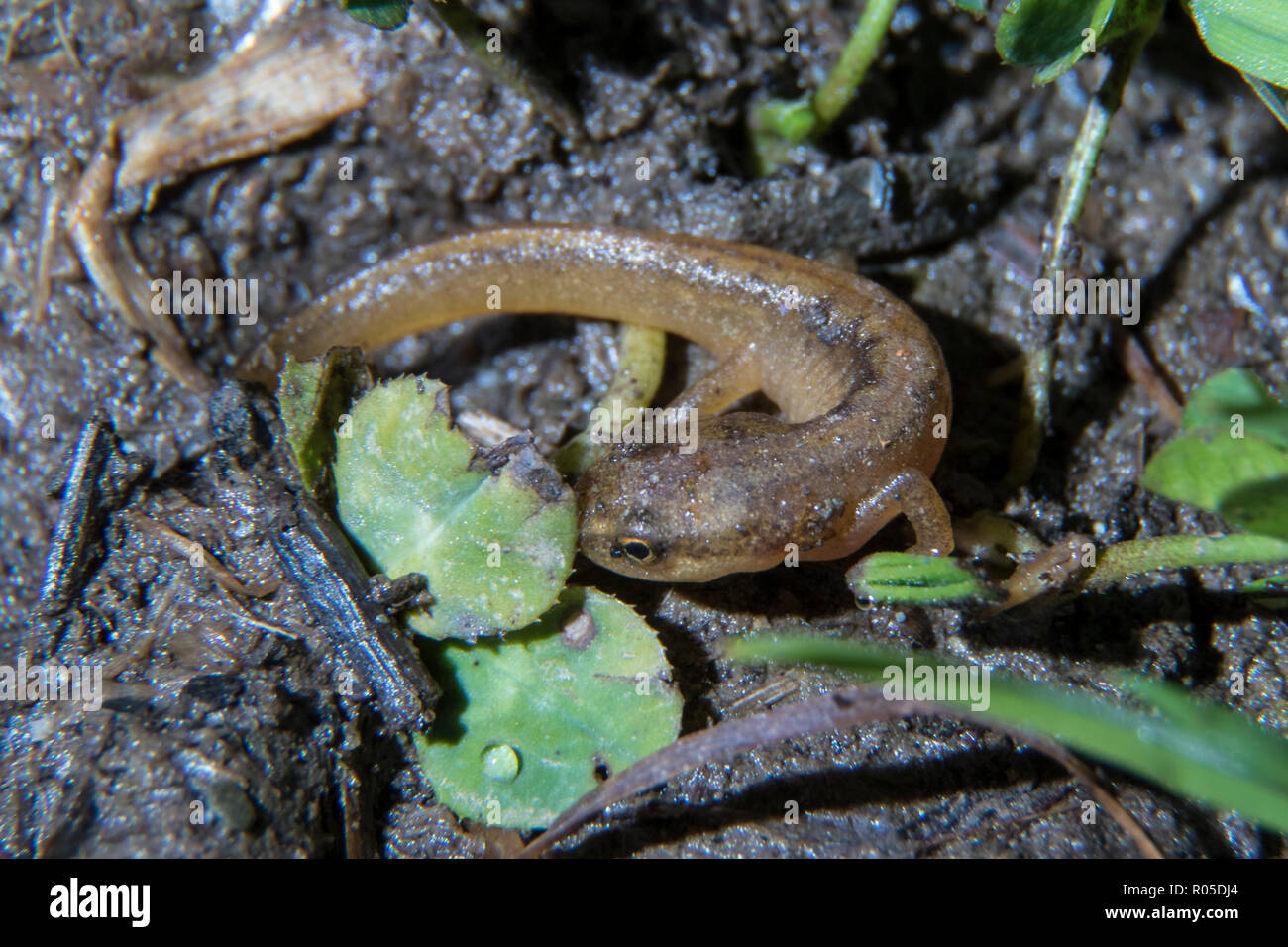 A young palmate newt (Lissotriton helveticus) photographied at night with a flash at Vielha, Aran valley, Catalonia. - Stock Image