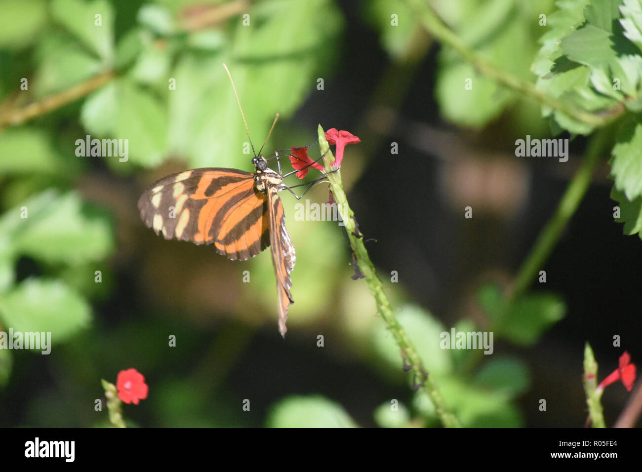 Flower garden with an orange and black tiger longwing butterlfy. - Stock Image