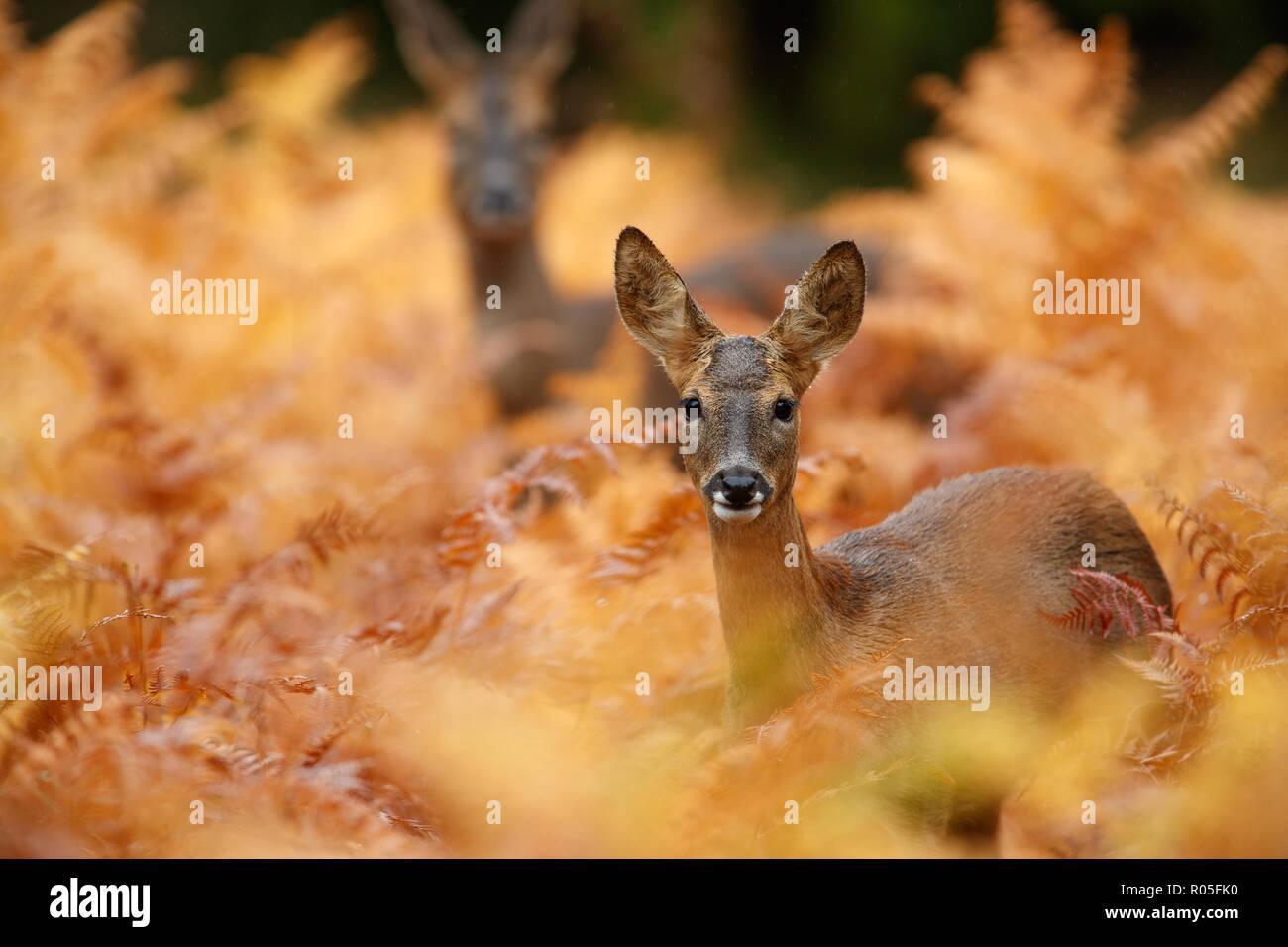 Roe deer in golden autumnal bracken - Stock Image