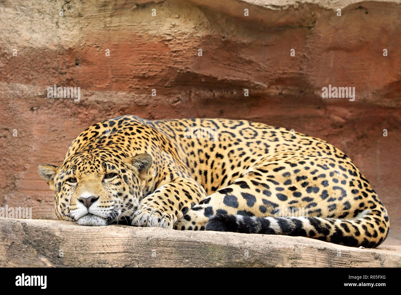 Jaguar, Panthera onca - Stock Image