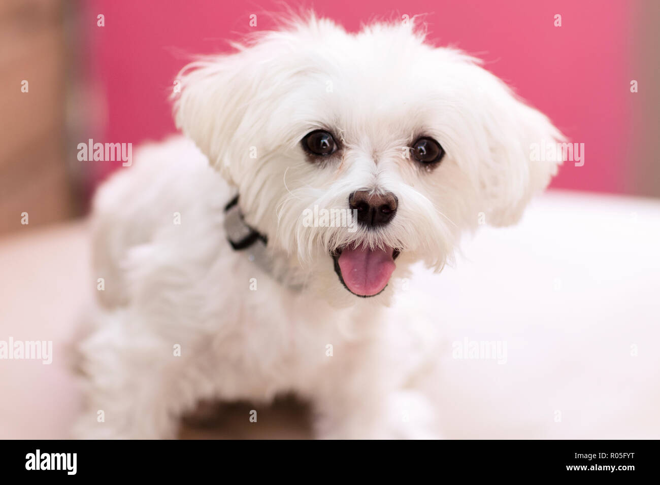 white Maltese puppy with tongue sticking out against a pink backdrop - Stock Image