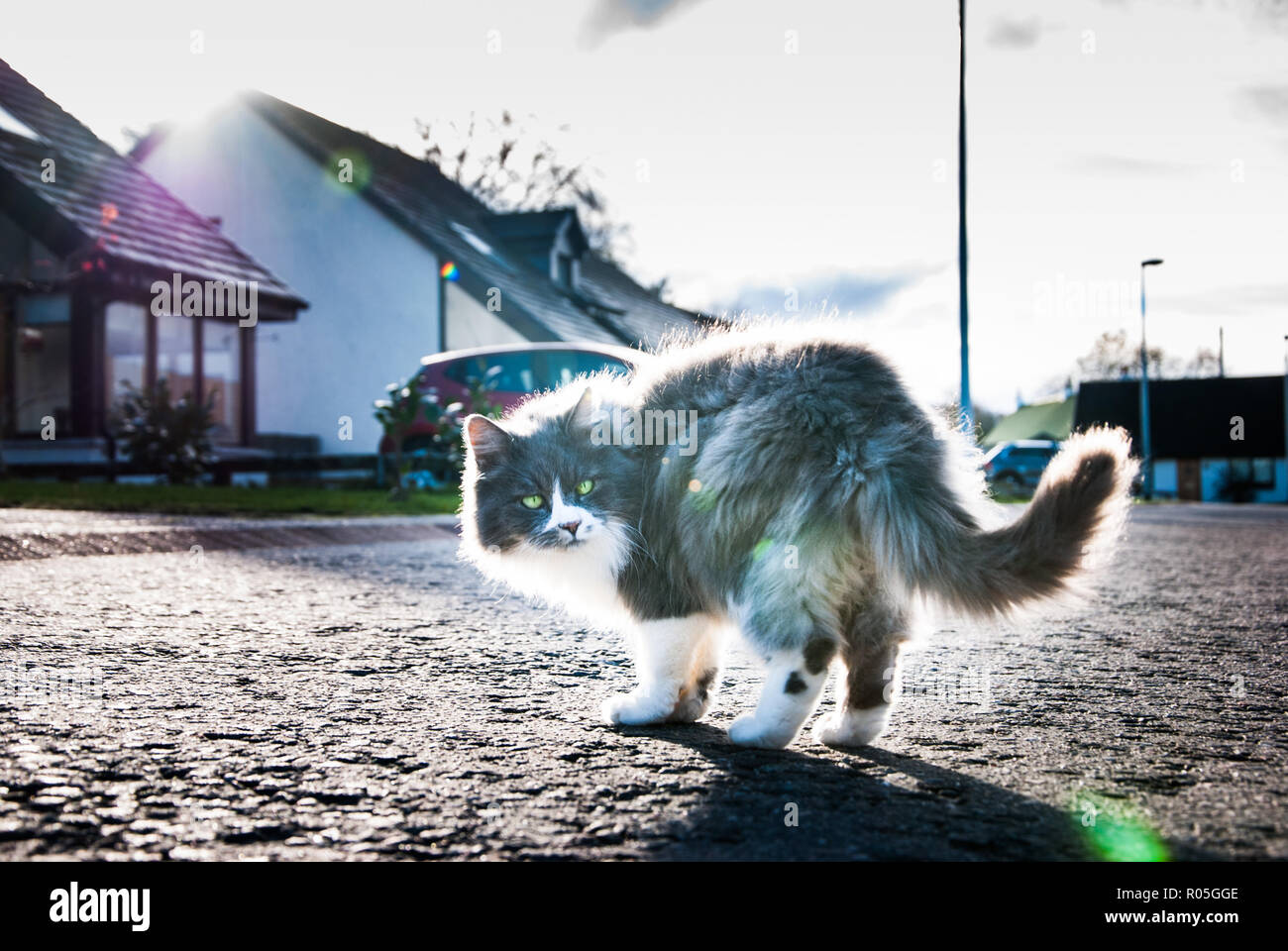 A fluffy grey white cat - Stock Image