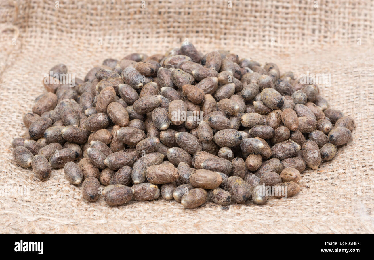 Mason bee cocoons in a pile - Stock Image