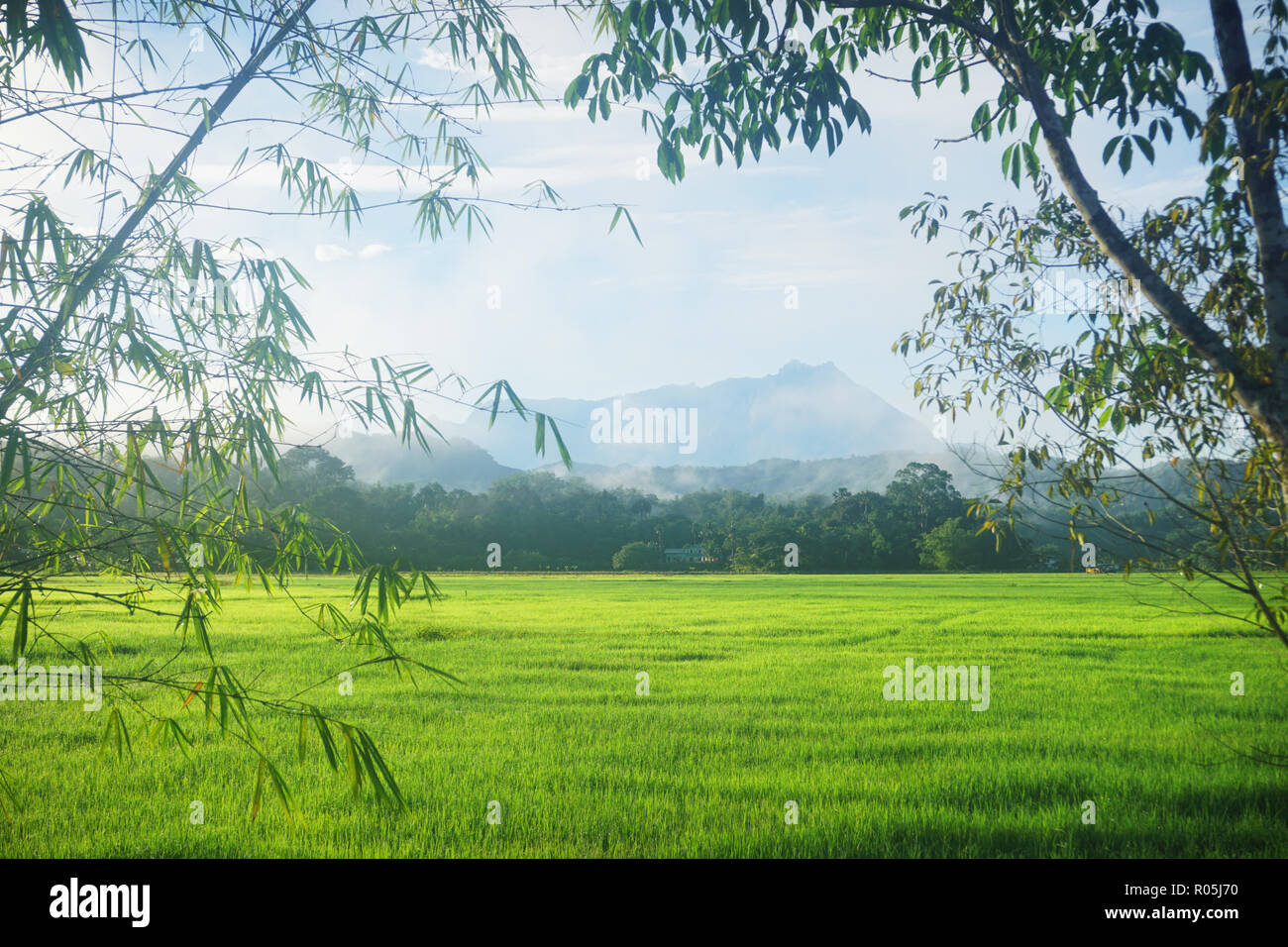 landscape scenic view of paddy field in Sabah Borneo with Mount Kinabalu at far background. - Stock Image