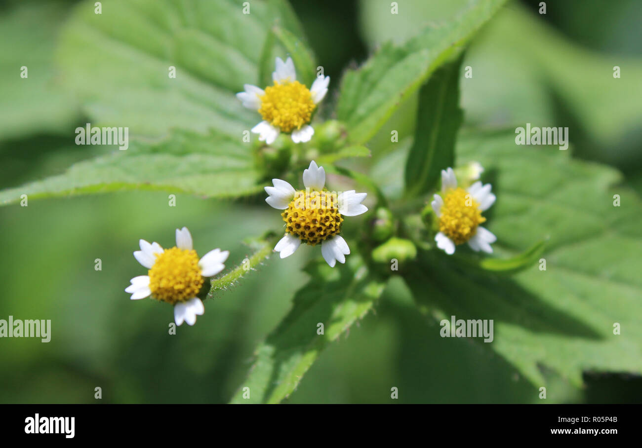 The tiny white flowers of Galinsoga parviflora, also known as Gallant Soldiers. Native of South America it is now a common garden weed in Europe . - Stock Image
