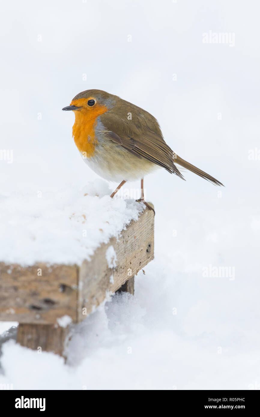 European Robin (Erithacus rubecula), adult perched on bird feeding table during winter, West Mdlands, March Stock Photo