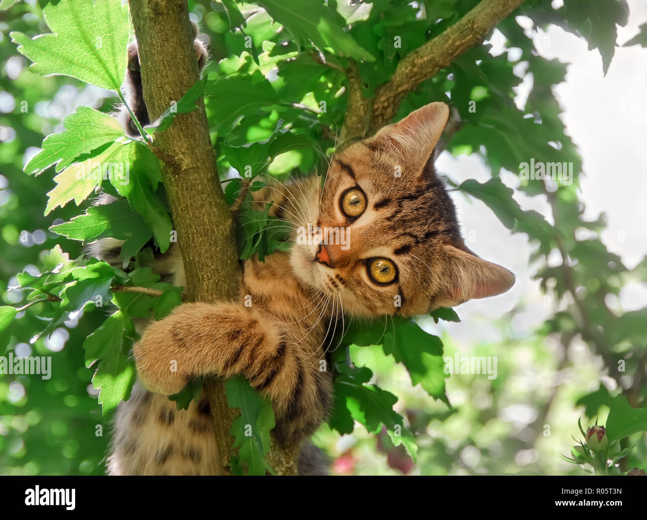 A curious tabby kitten, European Shorthair, is playing in a garden and climbing in a tree Stock Photo