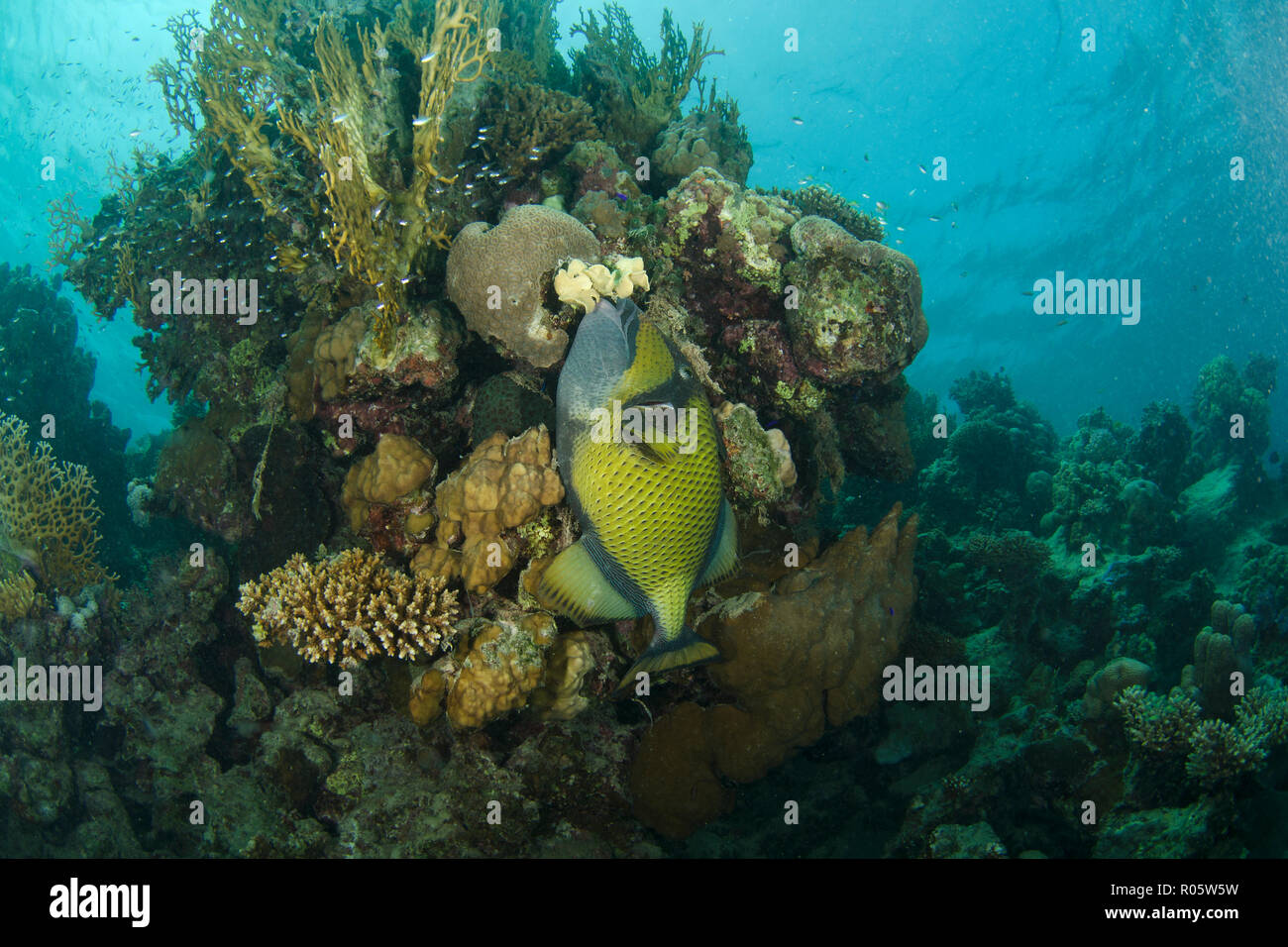 Titan triggerfish, Balistoides viridescens, holding onto sponge on coral reef, Hamata, Red Sea, Egypt - Stock Image