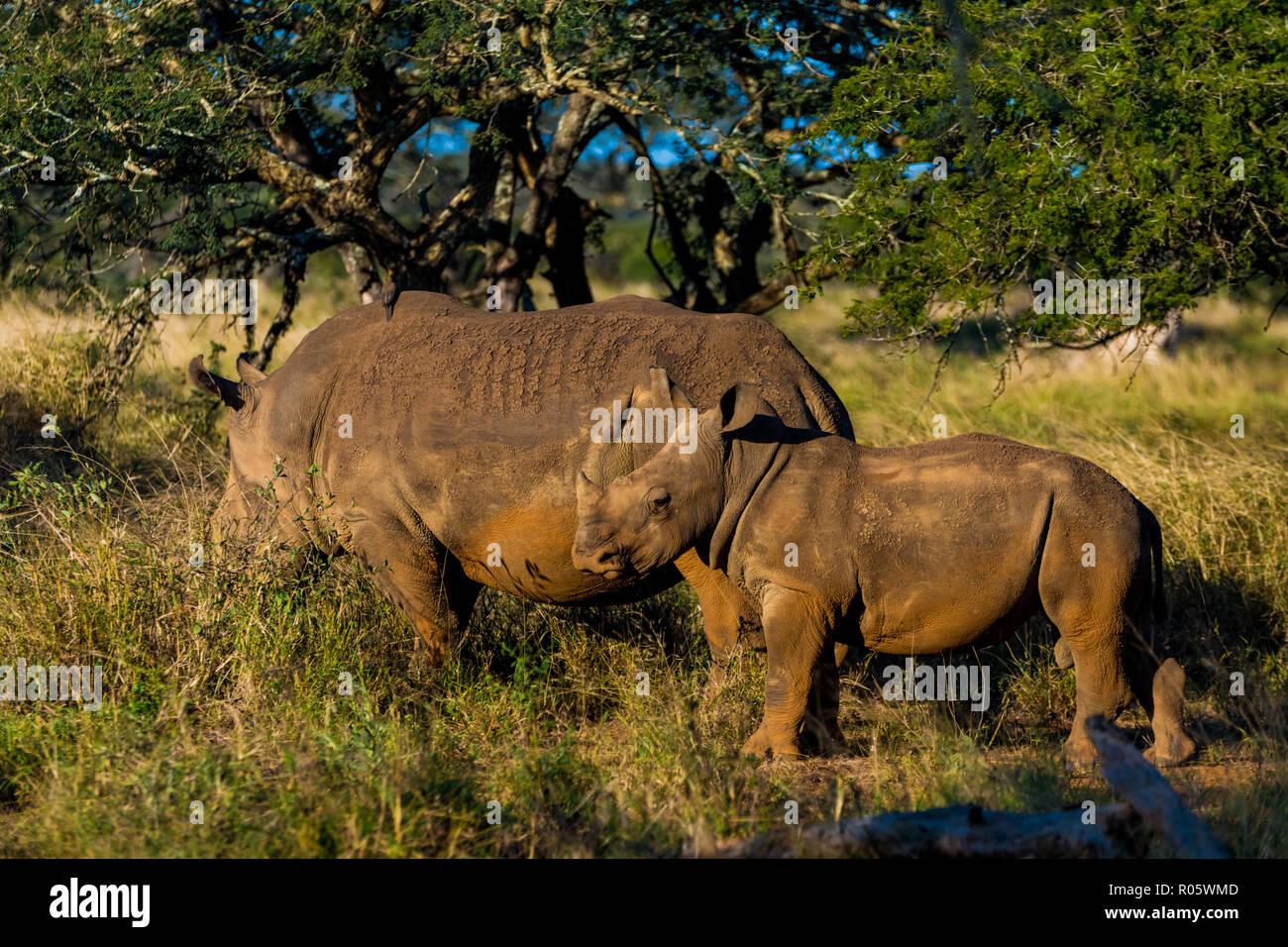 Rhinoceros (Rhinocerotidae), Zululand, South Africa, Africa - Stock Image