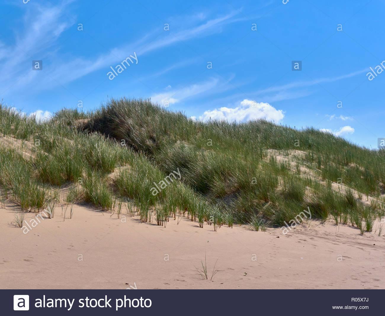 Marram grases Ammophila arenaria on sand dunes in aberavon beach near port talbot south wales uk - Stock Image
