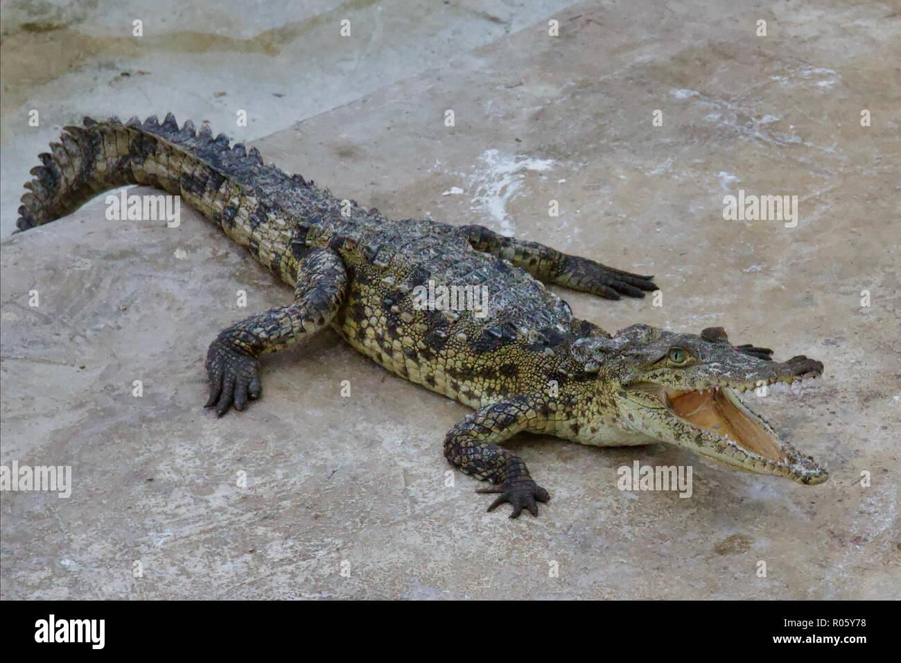 Crocodile (crocodylus acutus) with its mouth open to sweat out of it, bearing it's crocodile teeth - Stock Image