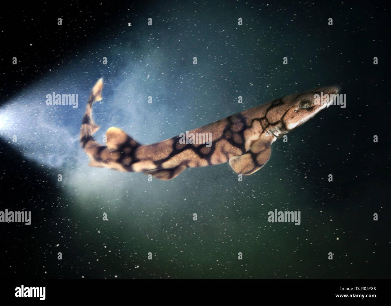 Chain catshark or chain dogfish, Scyliorhinus retifer, swimming. Is one of four elasmobranch species shown to possess biofluorescent properties. - Stock Image