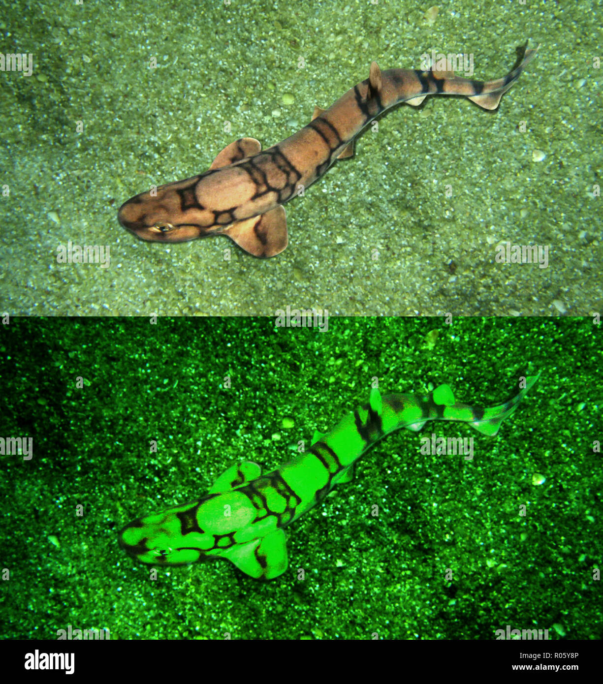 Chain catshark or chain dogfish, Scyliorhinus retifer, resting in sand bottom. Above photographed with daylight bellow showing fluorescent - Stock Image