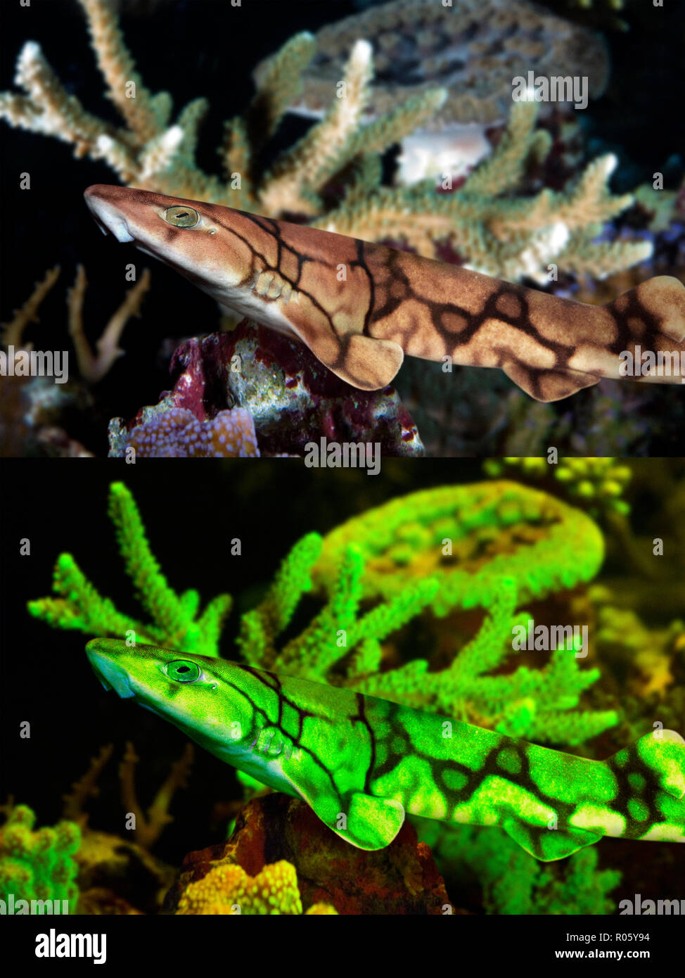 Chain catshark or chain dogfish, Scyliorhinus retifer. Above photographed with daylight bellown showing fluorescent colours when photographed - Stock Image