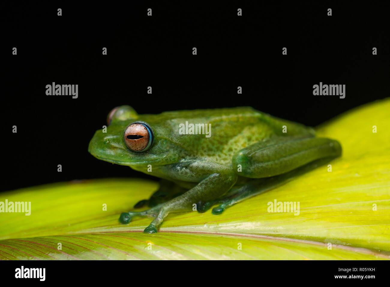 A frog (Boophis eninea) on leaf, Ranomafana National Park, Southeast Madagascar, Madagascar - Stock Image