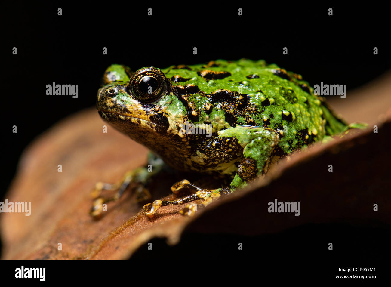 A frog (Scaphiophryne marmorata) in the rainforests of Andasibe, Madagascar - Stock Image