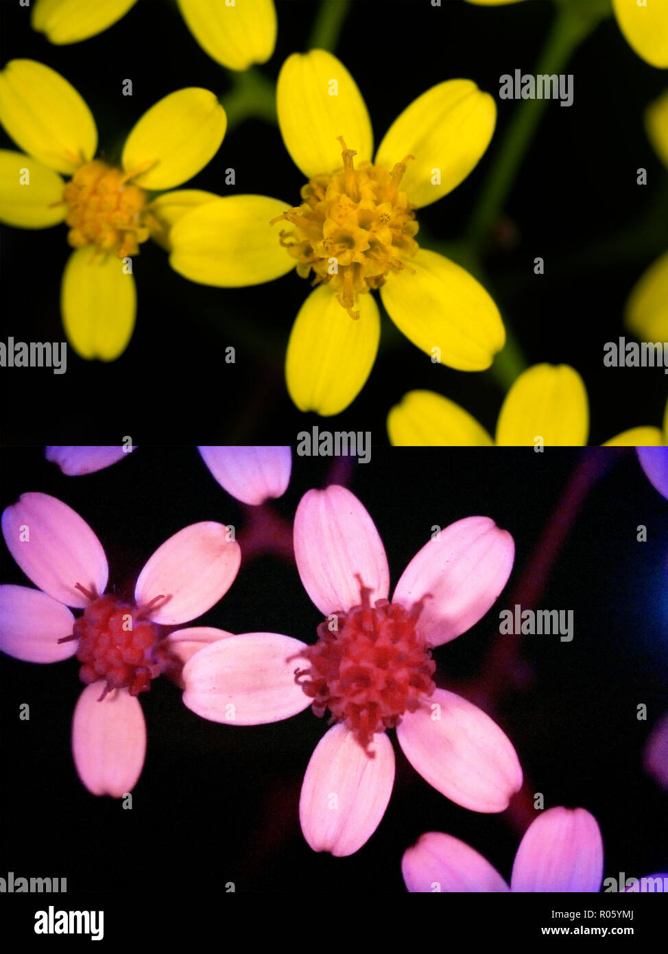 Yellow flowers. Above photographed with daylight and bellow showing fluorescent colours when photographed under ultraviolet light with a - Stock Image
