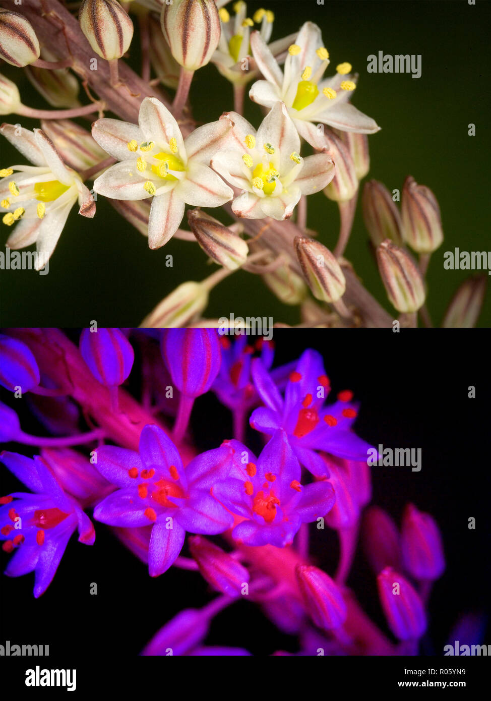 Asphodelus albus, White asphodel, flowers. Above photographed with daylight and bellow showing fluorescent colours when photographed under ultraviolet - Stock Image