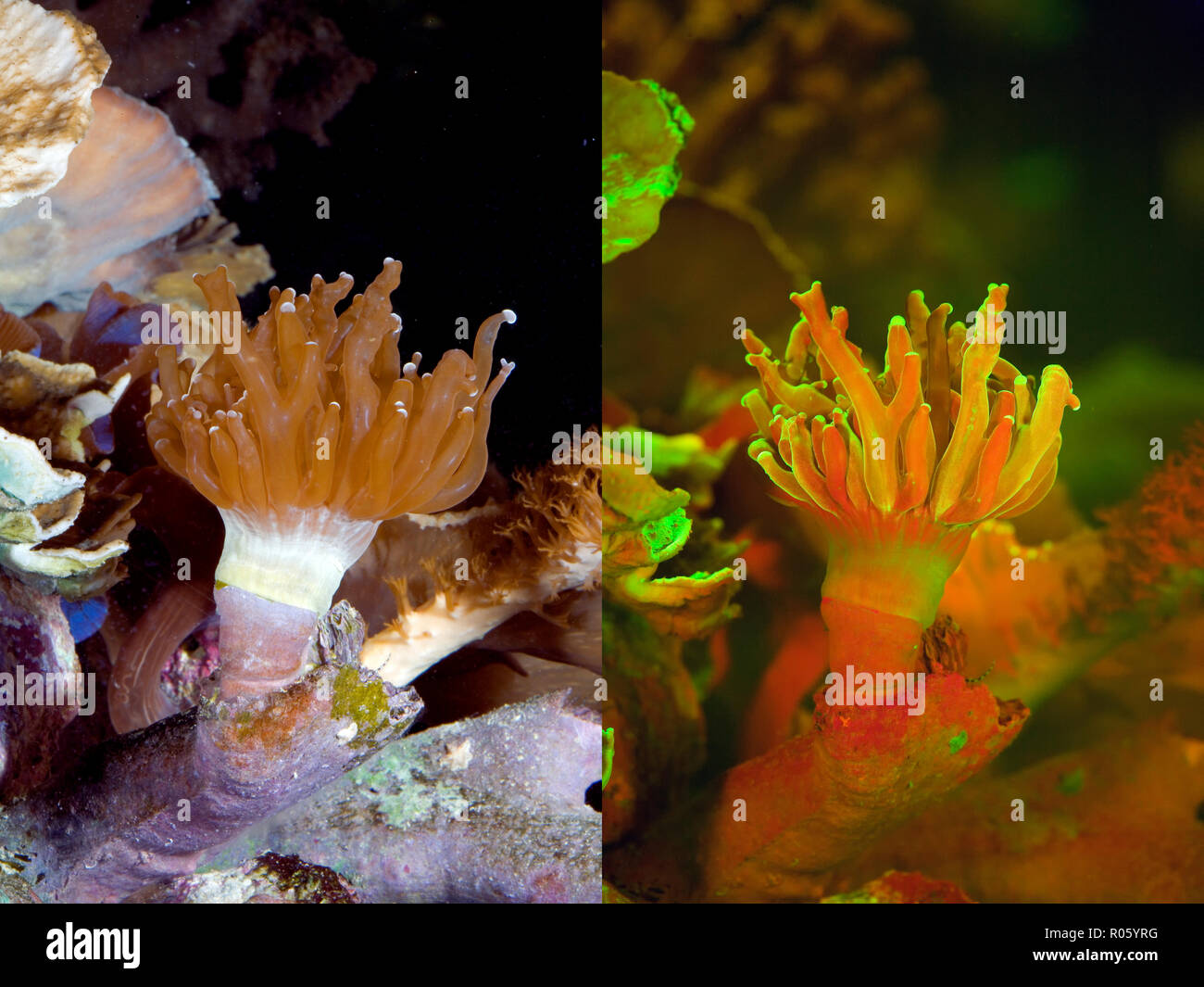 Fluorescent coral. Stony Coral, Euphyllia sp.. Left photographed with daylight and right showing fluorescent colours photographed under special - Stock Image