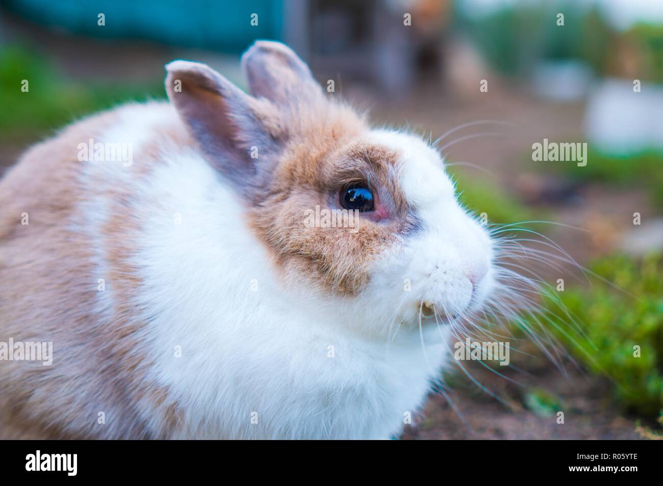 A white hairy rabbit rests outdoors Stock Photo