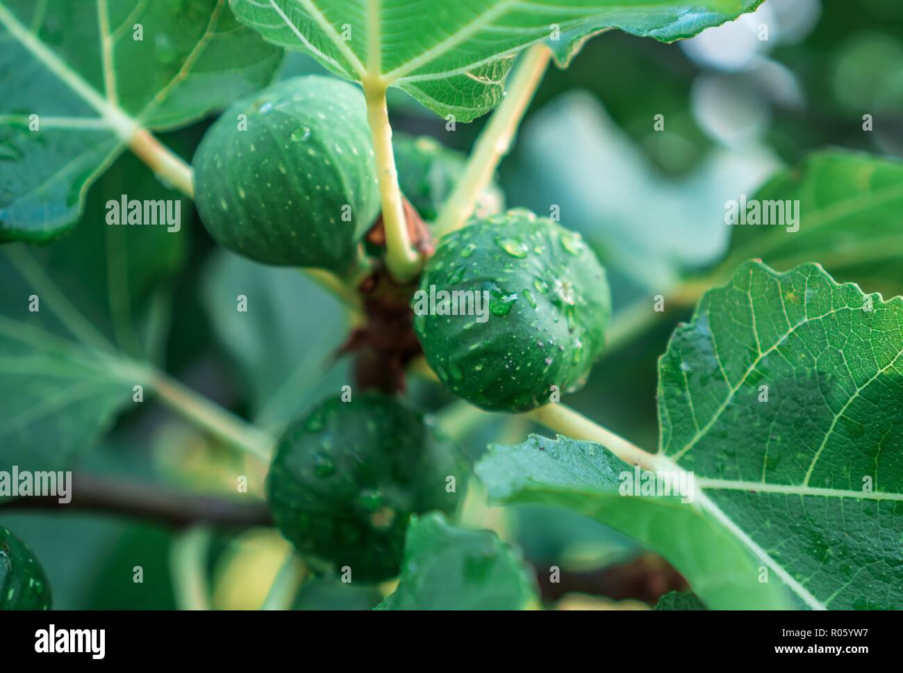 Fruits of unripe figs grow on the tree among the green leaves - Stock Image