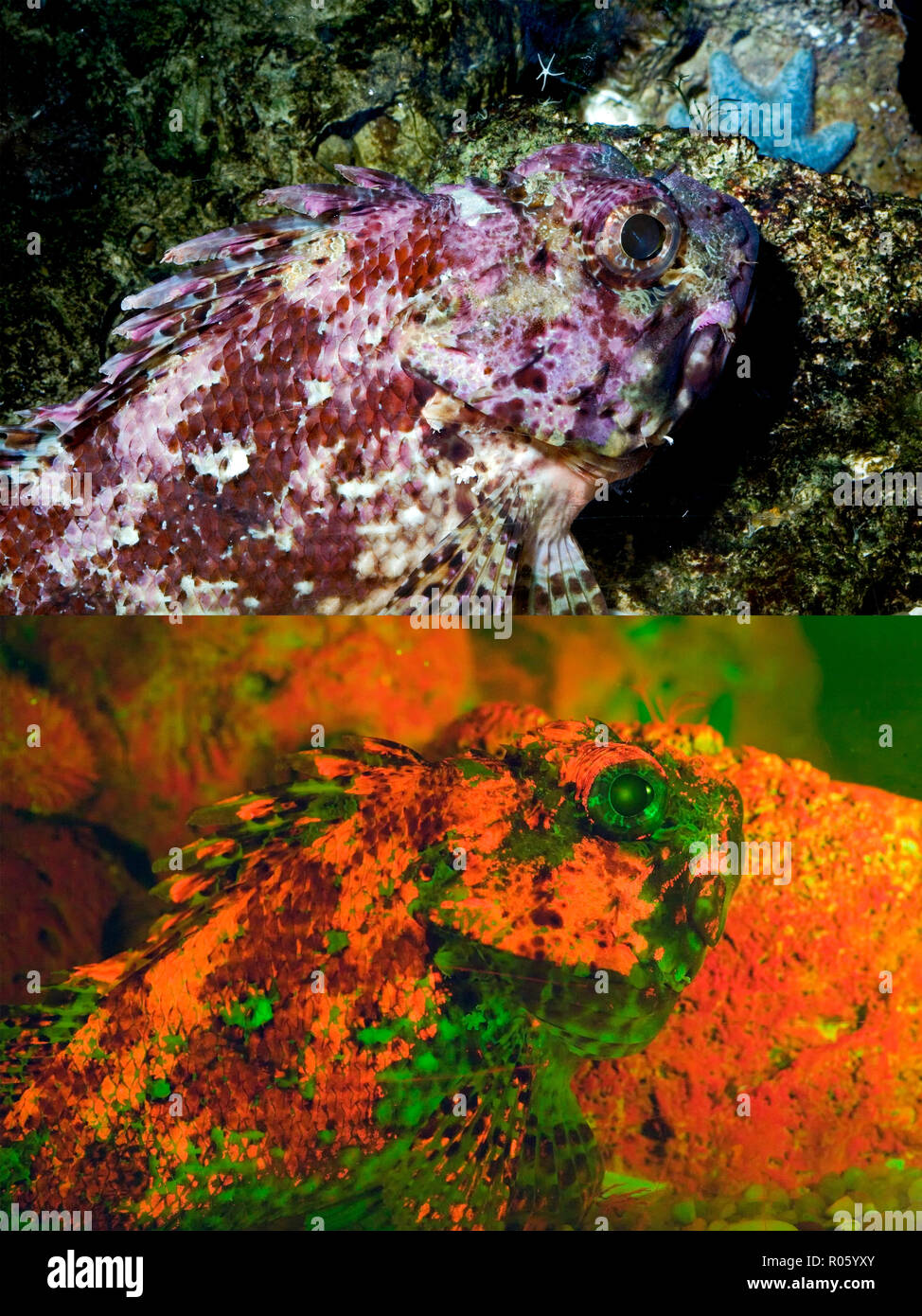Bigscale scorpionfish, Scorpaena scrofa. Above photographed with daylight and bellow showing fluorescent colours photographed under special blue or - Stock Image