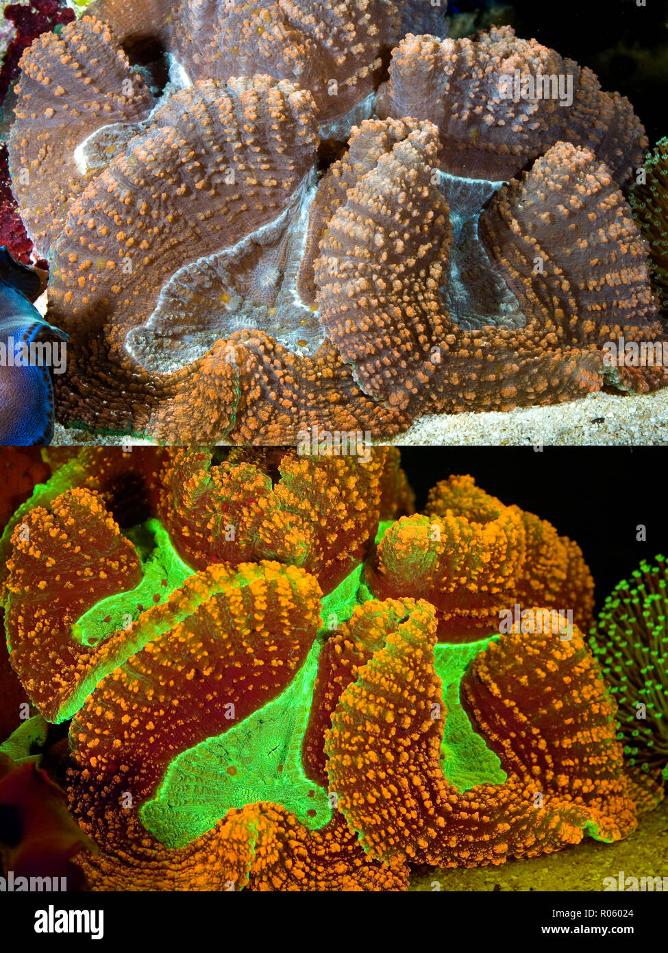 Fluorescent coral. Brain coral, Trachyphyllia sp.. Above photographed with daylight and bellow showing fluorescent colours photographed under Stock Photo
