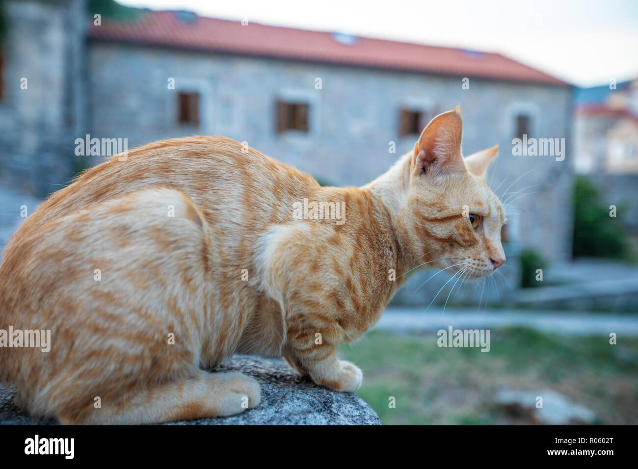 Red cat on the street of the old city in Budva. Montenegro Stock Photo