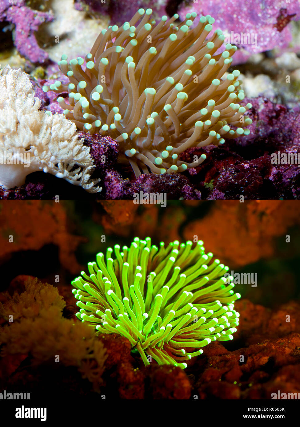 Fluorescent coral. Large-polyped Stony coral, Euphyllia paraglabrescens. Above photographed with daylight and bellow showing fluorescent colours Stock Photo