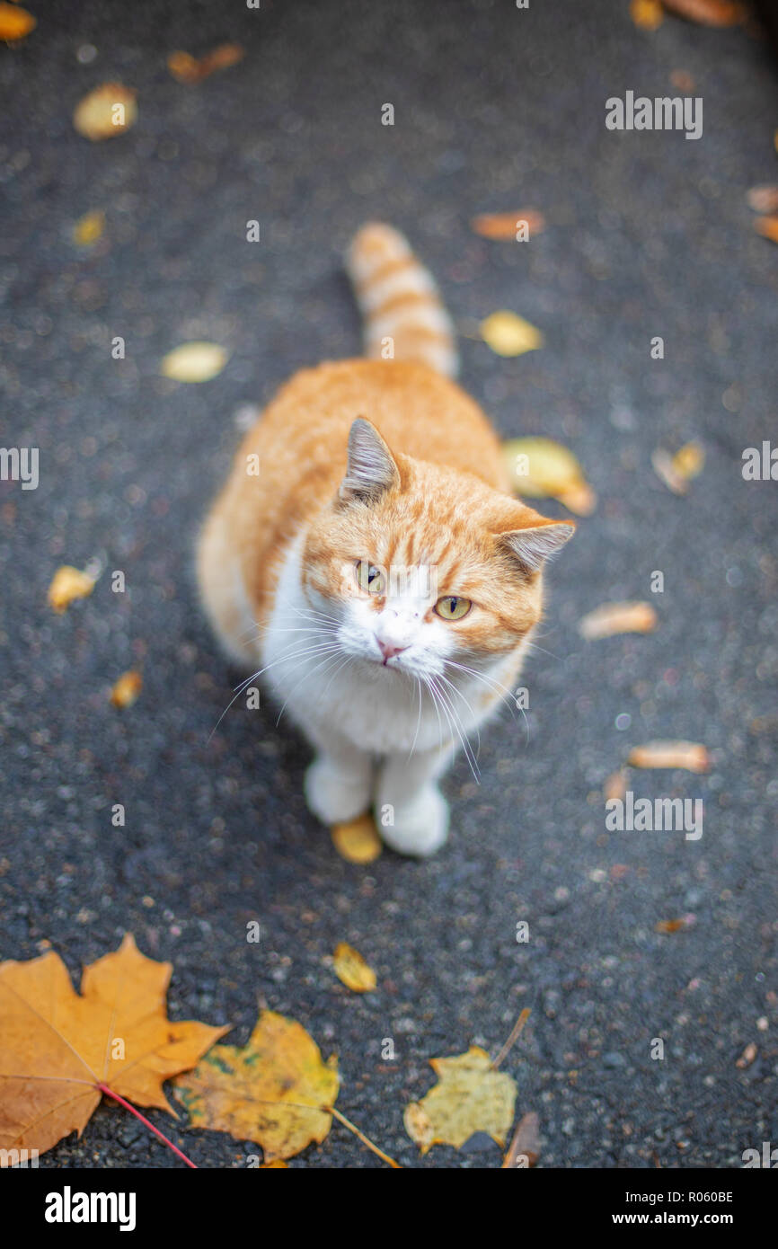 Red cat at the street in autumn - Stock Image