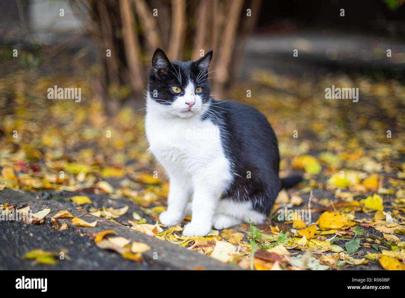 Cat is sitting on the street. Yellow leaves - Stock Image