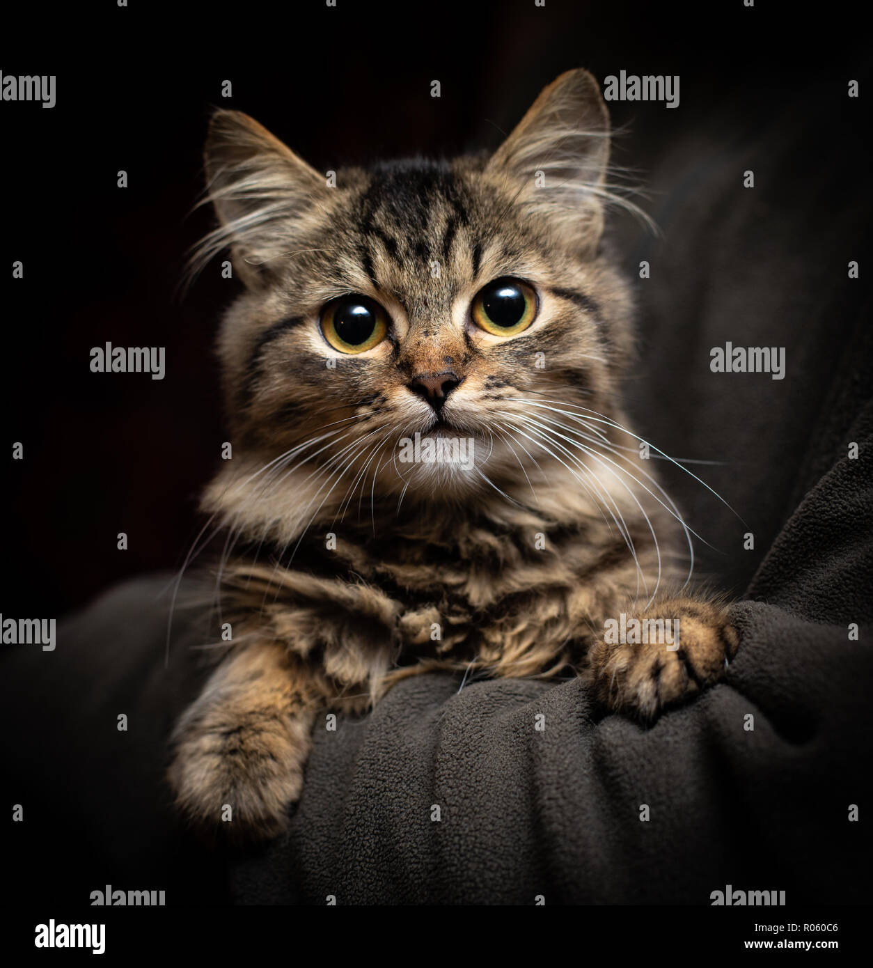 Beautiful fluffy funny cat on the black background - Stock Image