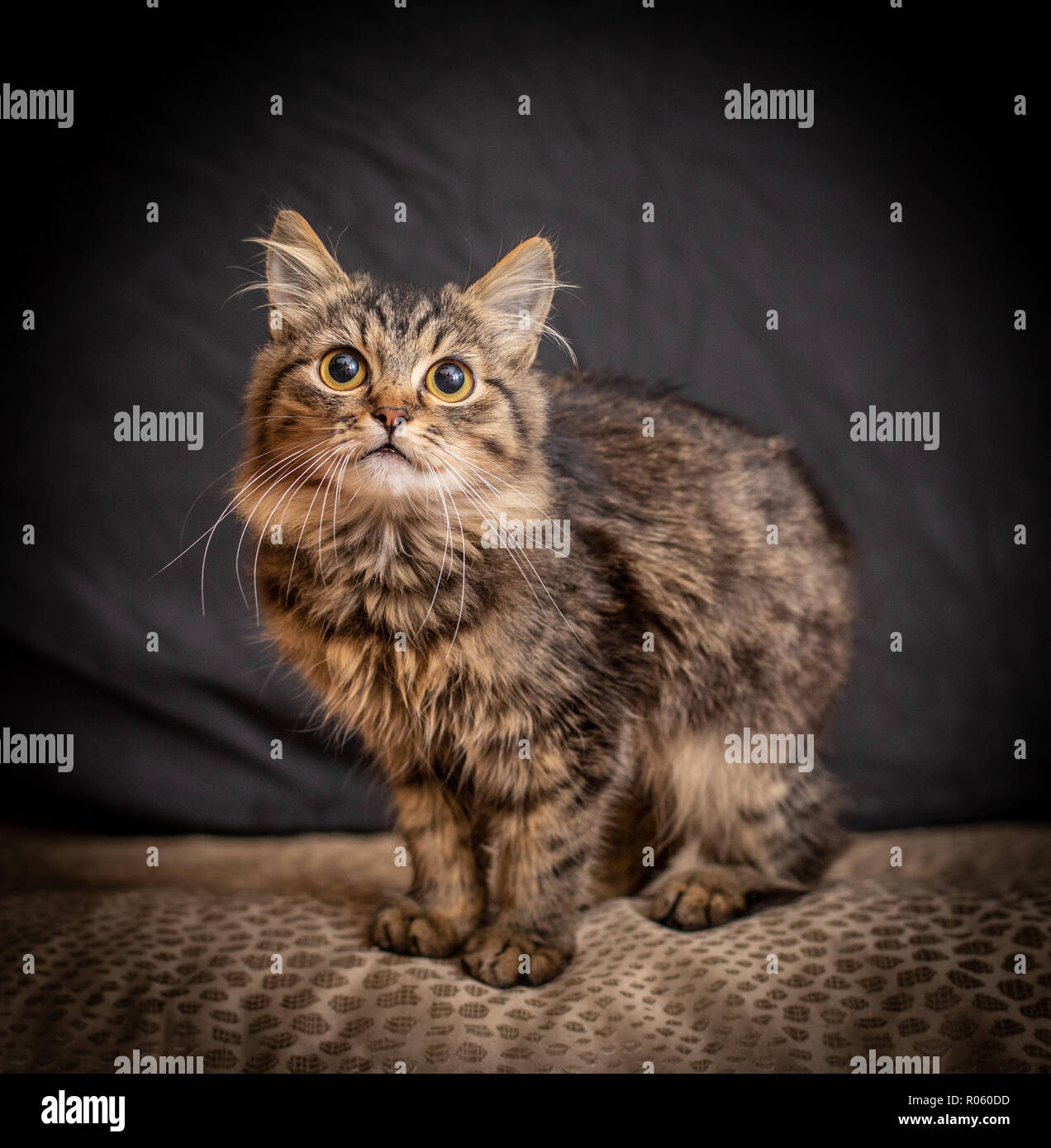 Beautiful fluffy funny cat on the black background Stock Photo